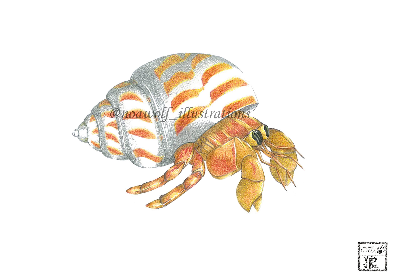 3000x2121 Hermit Crab Art Crab Drawing Crab Painting Crab Artwork