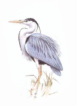 326x449 Animals For Gt Heron Drawing Blue Heron Blue Heron