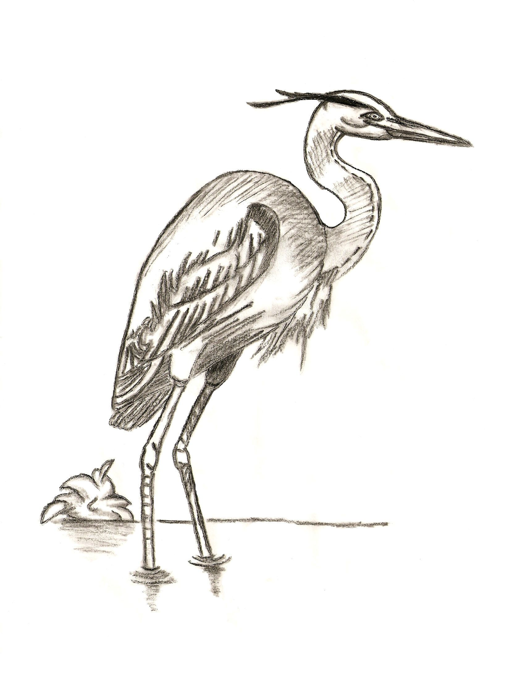 1658x2211 Blue Heron Picture, By Tapiona For Birds Drawing Contest