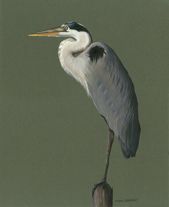 568x696 Great Blue Heron Drawing By Heather Mitchell