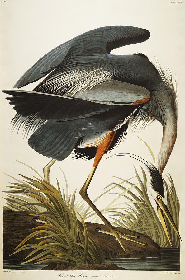 594x900 Great Blue Heron Drawing By John James Audubon
