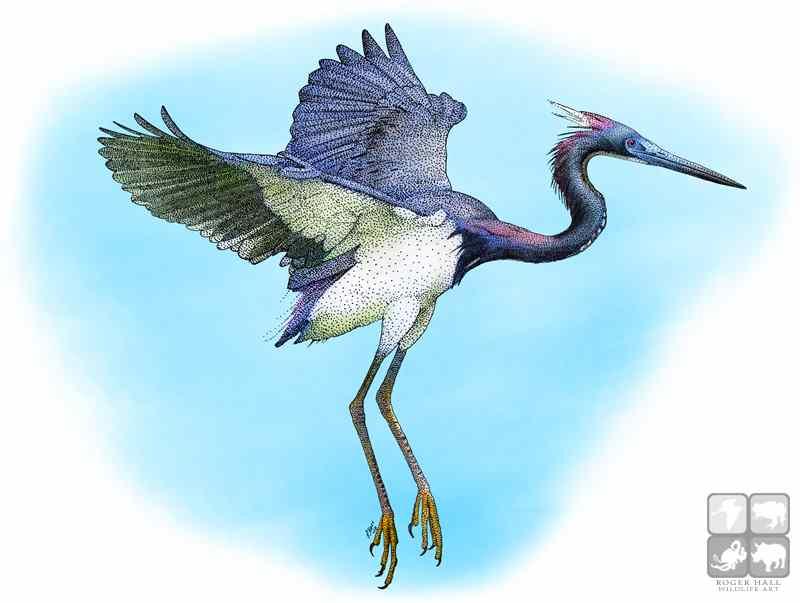800x603 Tricolored Heron (Egretta Tricolor) Line Art And Full Color