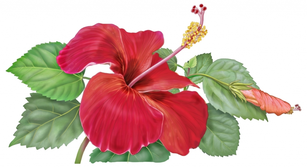 1024x558 Hibiscus Flower Drawing Hibiscus Flower Drawing Clipartsco