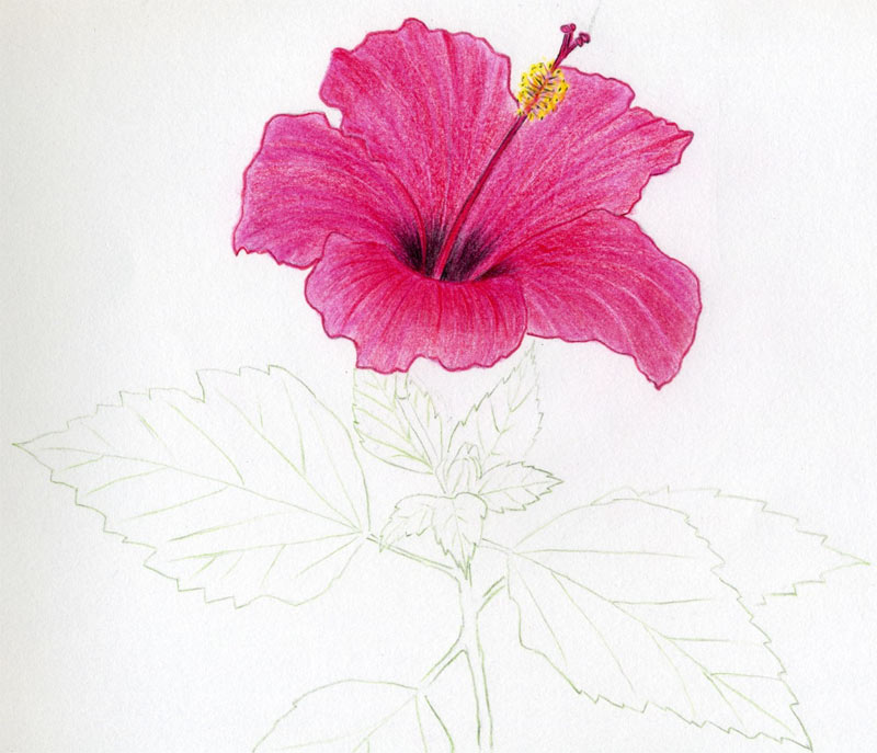 800x687 Hibiscus Flowers Drawing Tutorial