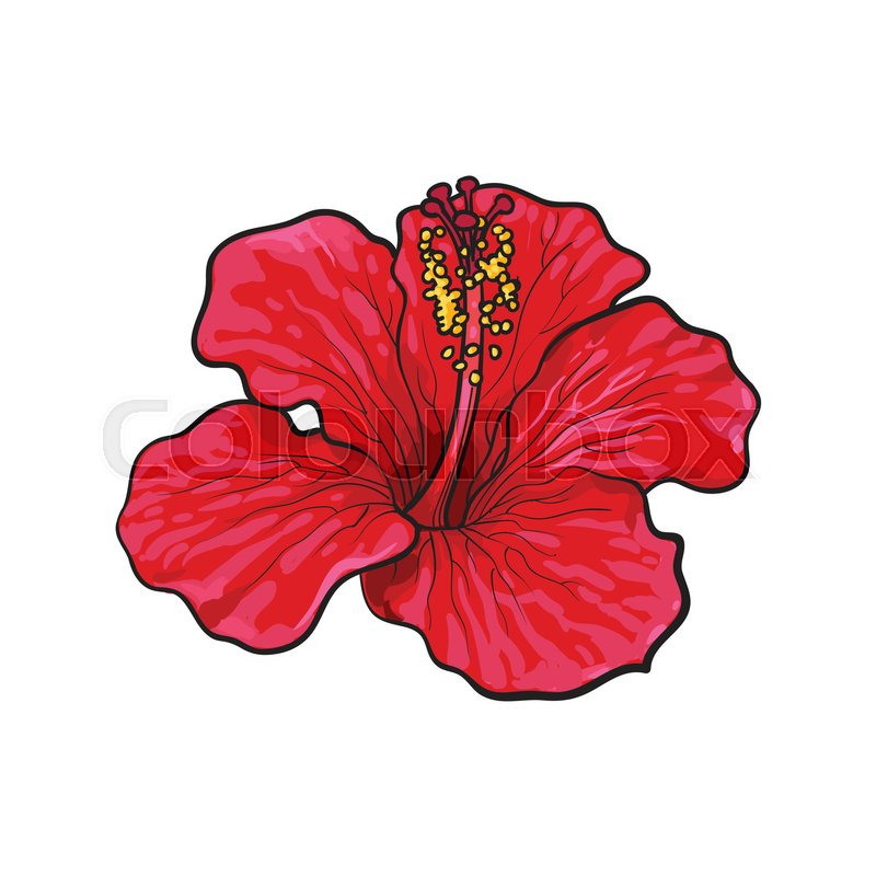 Red Flower Line Drawing : Hibiscus drawing at getdrawings free for personal