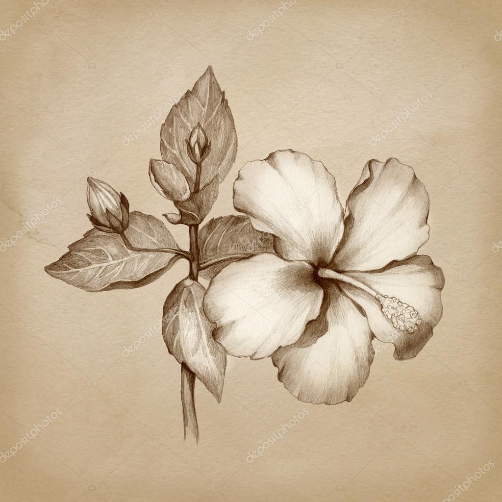 1024x1024 Drawing Of Hibiscus Flower Stock Photo Sashsmir