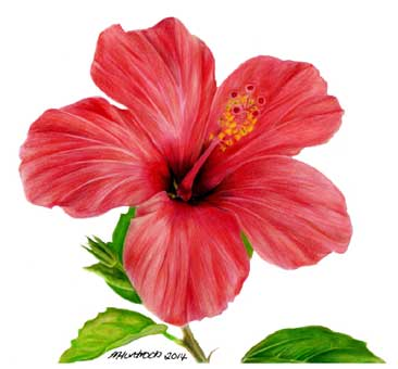 366x340 hibiscus flower by marie huntrods