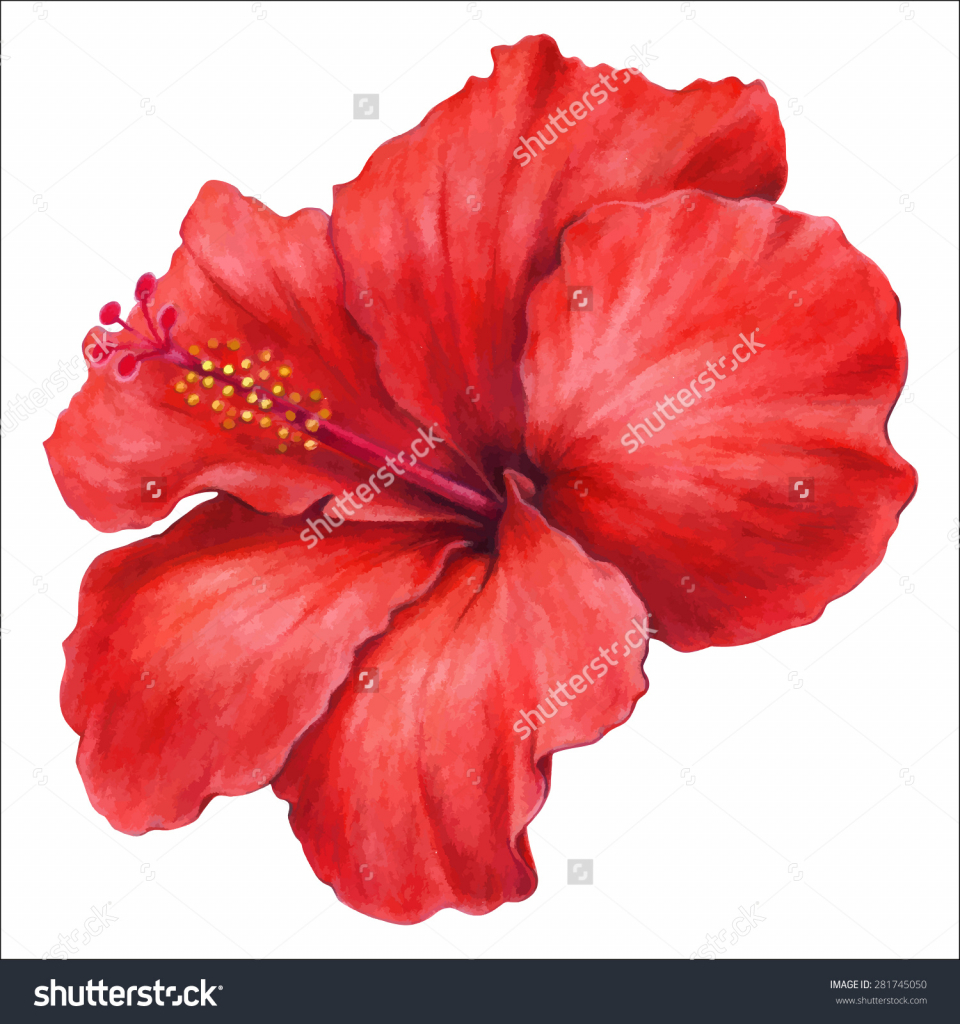 Hibiscus flower drawing at getdrawings free for personal use 960x1024 hibiscus flower drawing color hibiscus flower pencil drawing izmirmasajfo