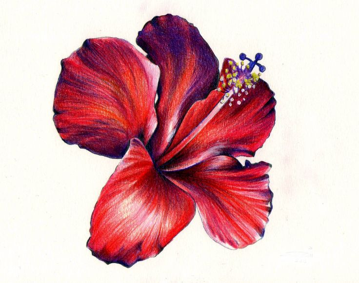 736x580 Image Result For Red Hibiscus Drawing Rojo Doodles