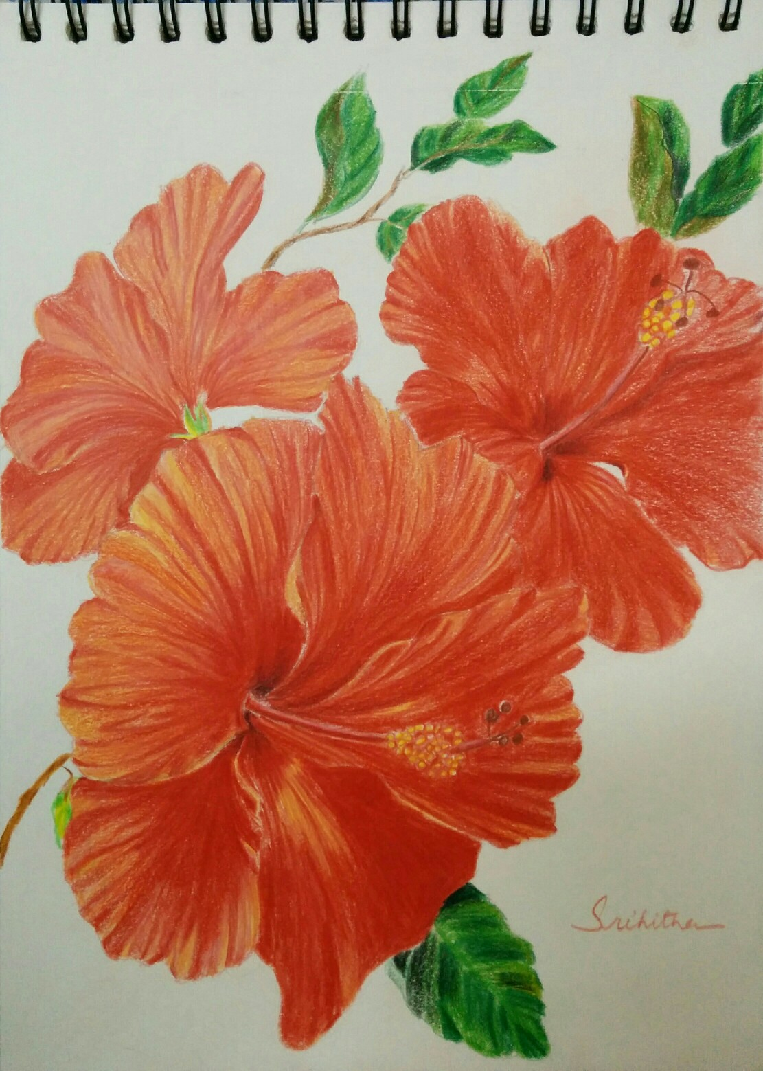 Hibiscus flower pencil drawing at getdrawings free for 1111x1559 coloured pencil drawings izmirmasajfo