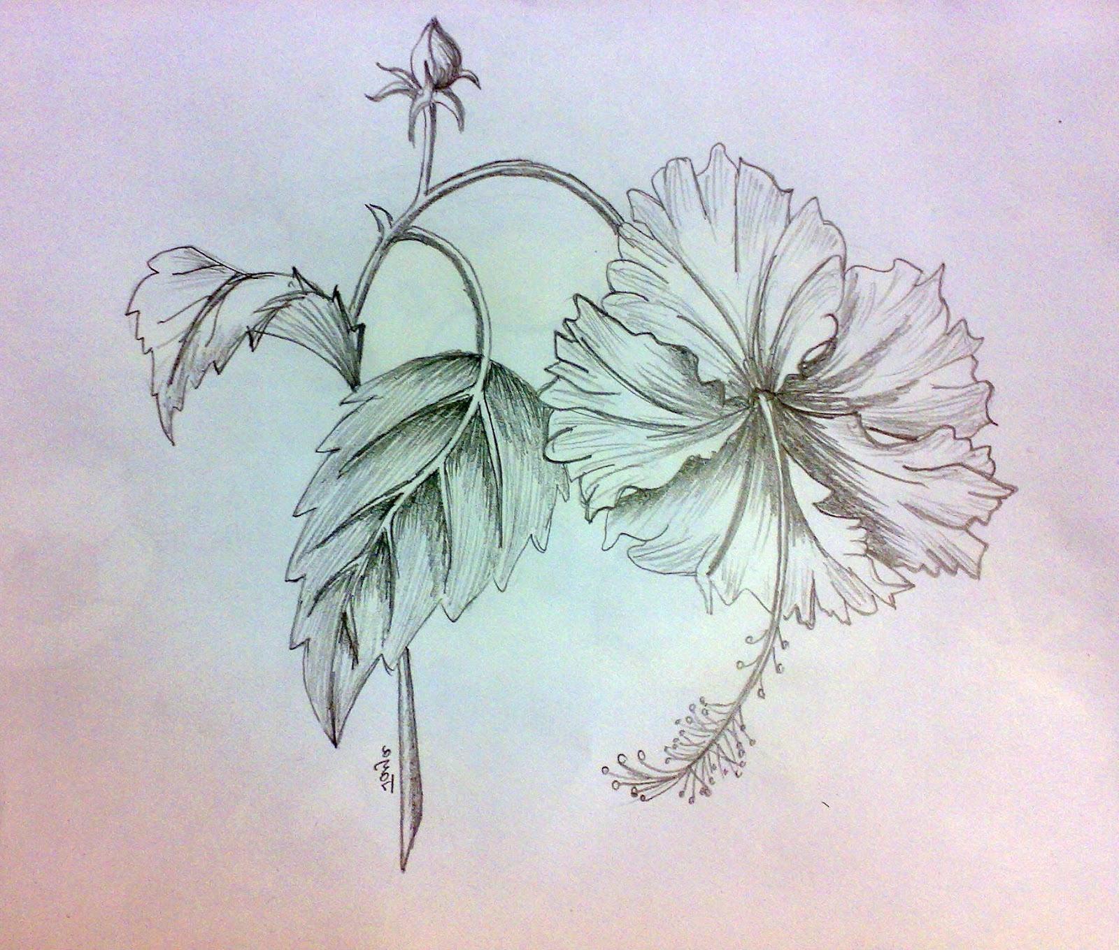 1600x1359 Pencil Sketch Of Hibiscus Flower