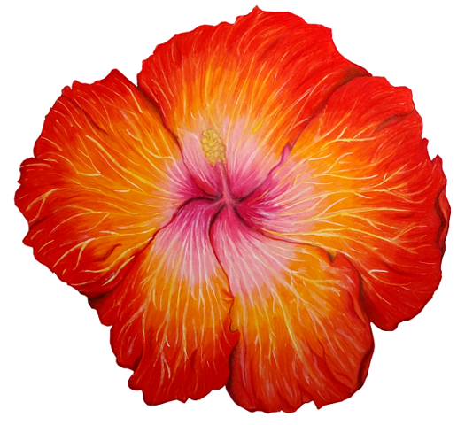 525x480 Hibiscus Flower Drawing By Kaitlin73