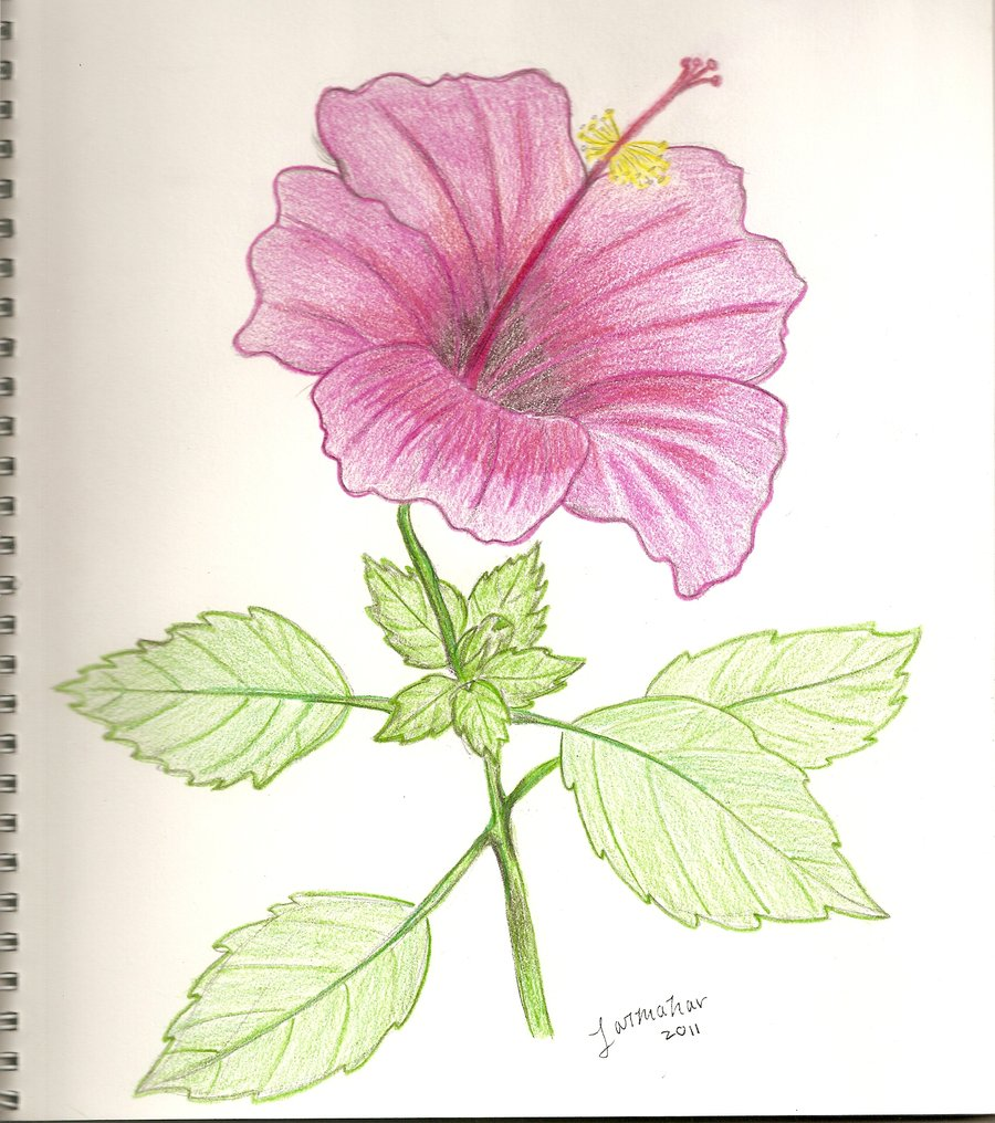 Hibiscus Flowers Drawing At Getdrawings Free For Personal Use