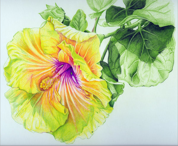600x492 Georgia's Pearl Hibiscus Colored Pencil Drawing By