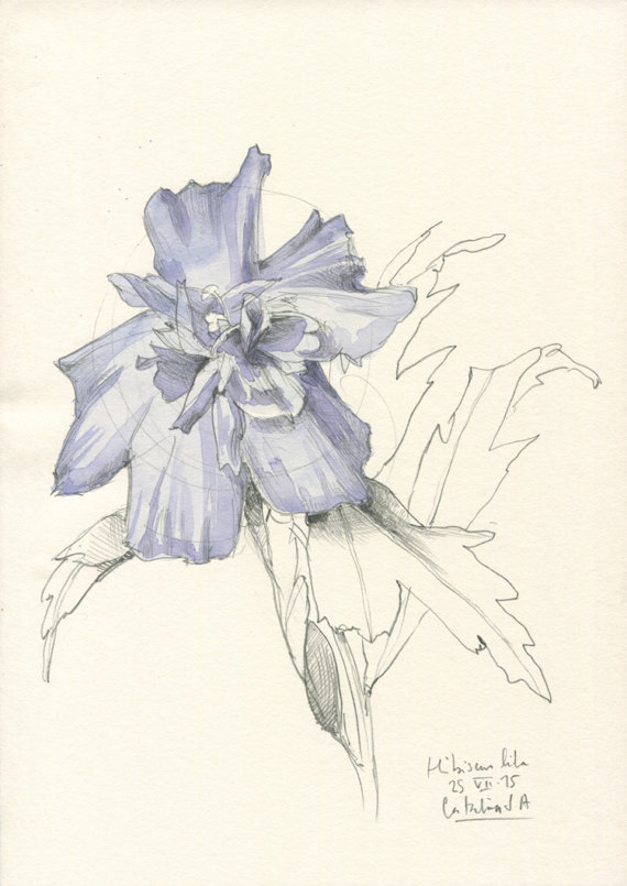 570x805 Hibiscus Drawing 2