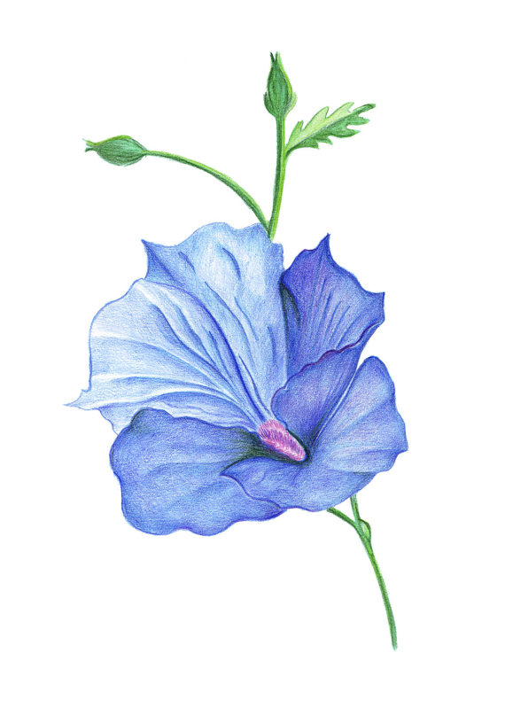 570x798 Painted Hibiscus Flower. Handmade Drawing Pencil Drawing