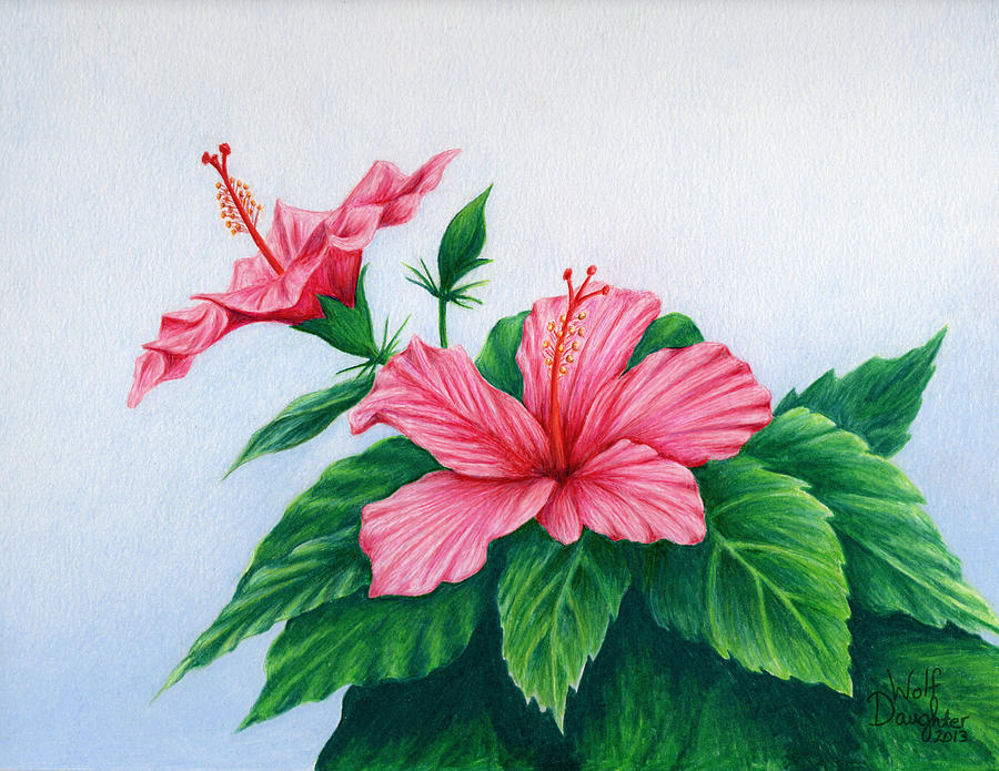 900x695 Pink Hibiscus Drawing By Wolf Daughter