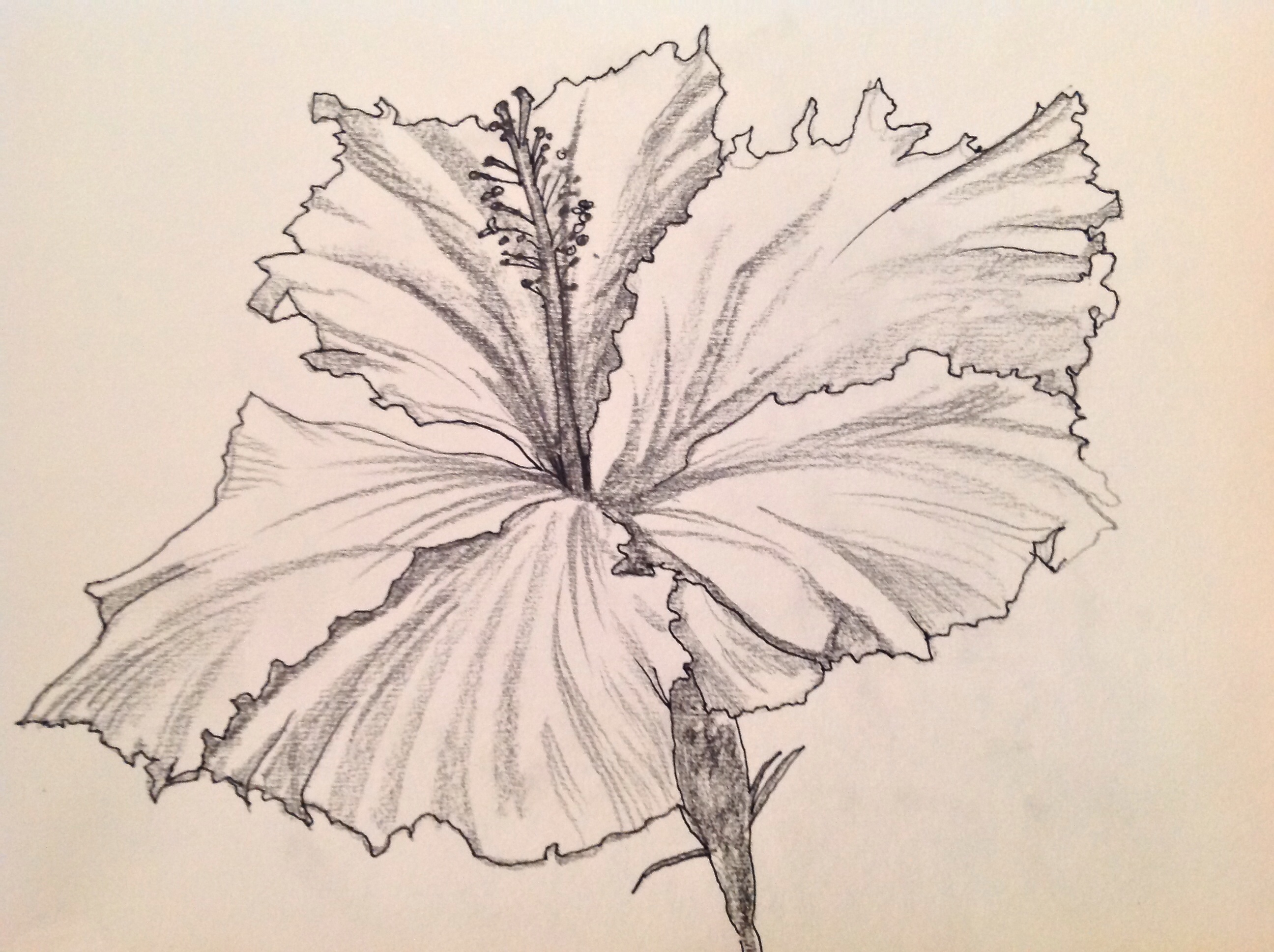 2592x1936 Hibiscus Plant Drawn Sketches Hibiscus Flower Pen And Ink Drawings