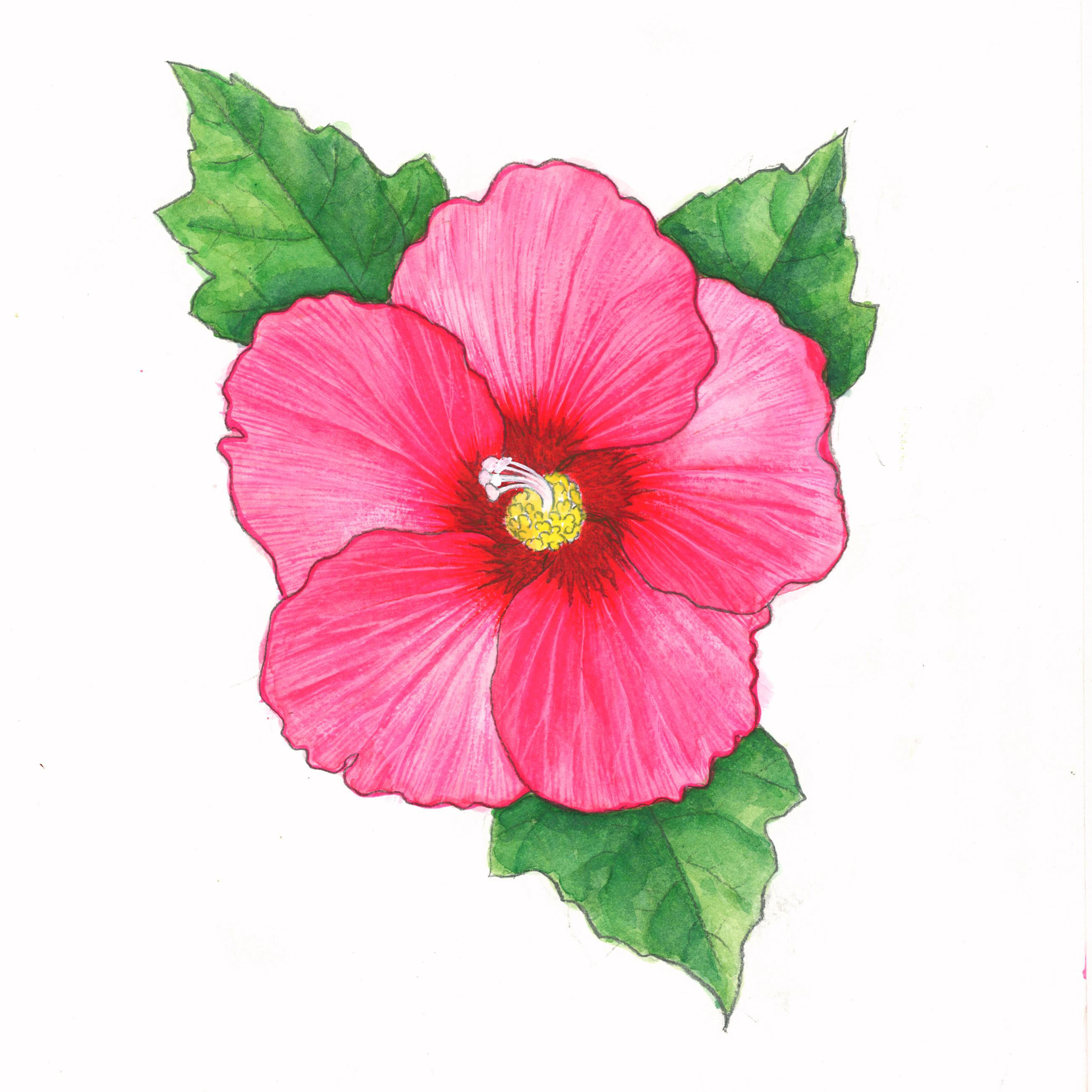 2598x2598 Rose Of Sharon Drawing Plant Hibiscus Syriacus (Rose Of Sharon