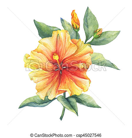 449x470 Yellow Red Hibiscus Flower. Hand Drawn Watercolor Painting