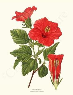 236x306 Botanical Illustration Scientific Hibiscus