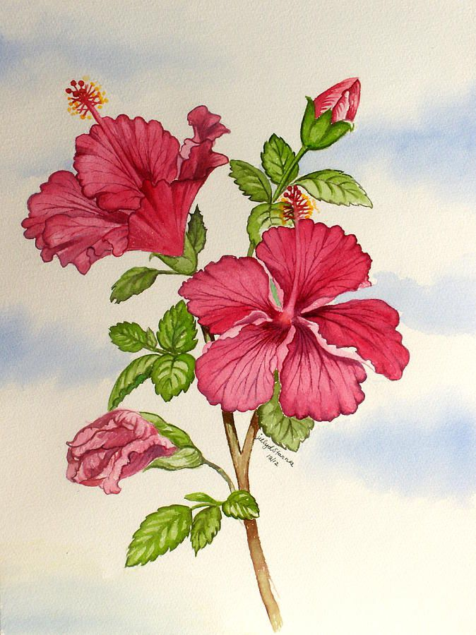 674x900 Drawing Hibiscus Bush