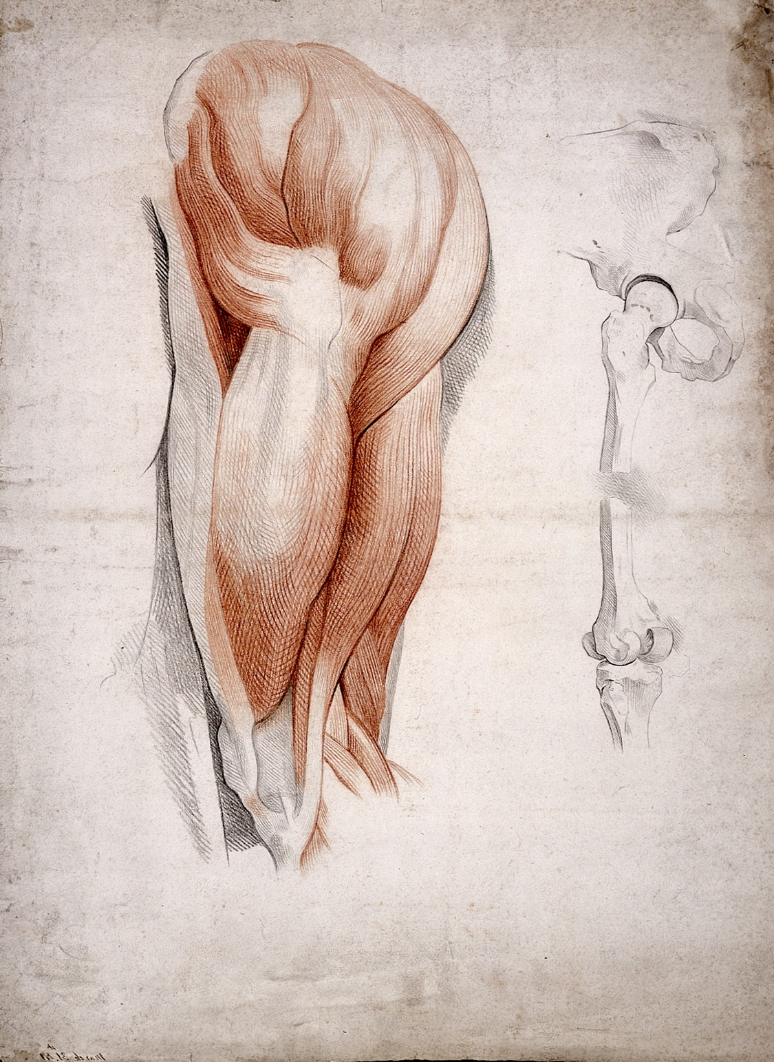 1125x1543 Filethe Bones And Muscles Of The Hip And Thigh. Drawing, 1841