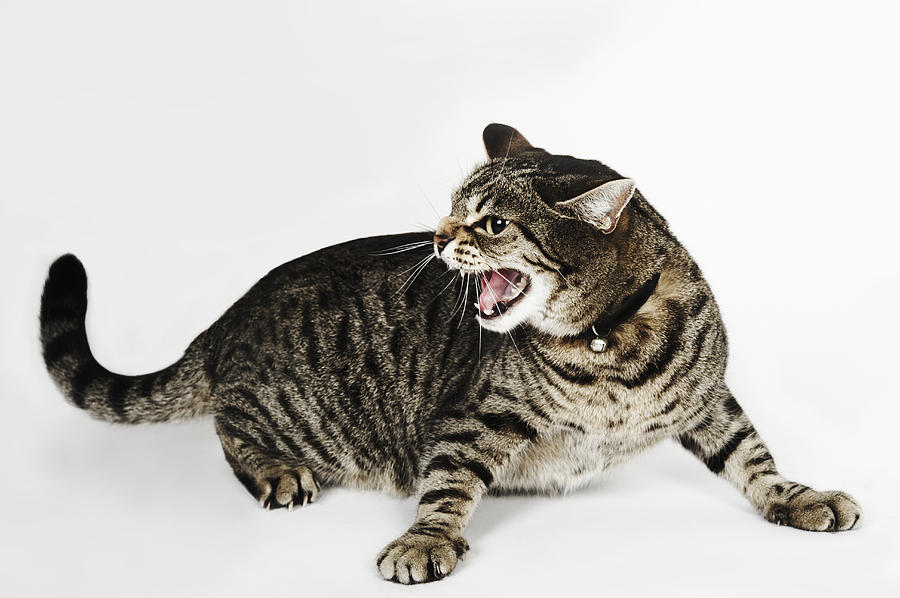 900x598 Portrait Of Cat Hissing Photograph By Brand New Images