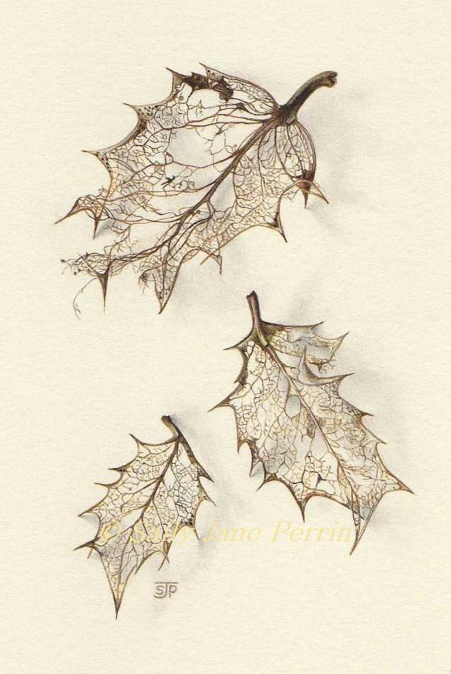 637x952 Holly Leaf Skeletons, Botanicalnatural History, Sally Jane Perrin