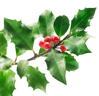 200x193 Holly Tree All About Holly Trees