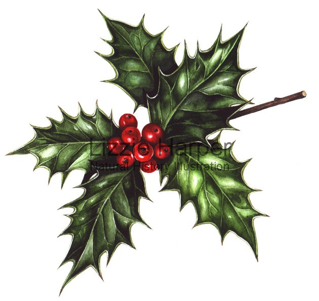 630x595 Holly Lizzie Harper Illustration Botanical Illustration