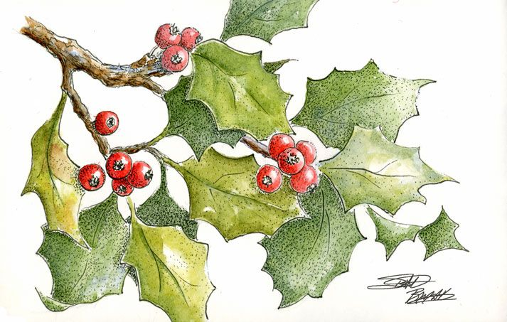 713x453 Sbwatercolors And Sketching Holly Leaves Pen And Ink Plus