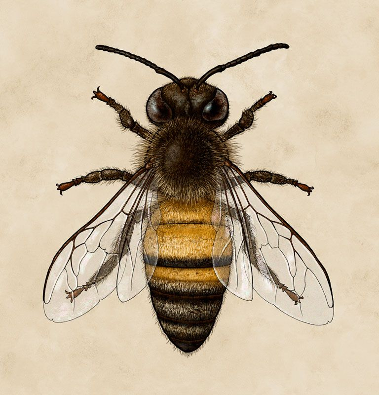 768x800 Bee, Honey Bee, Scientific Illustration, Biology, Insect Bees