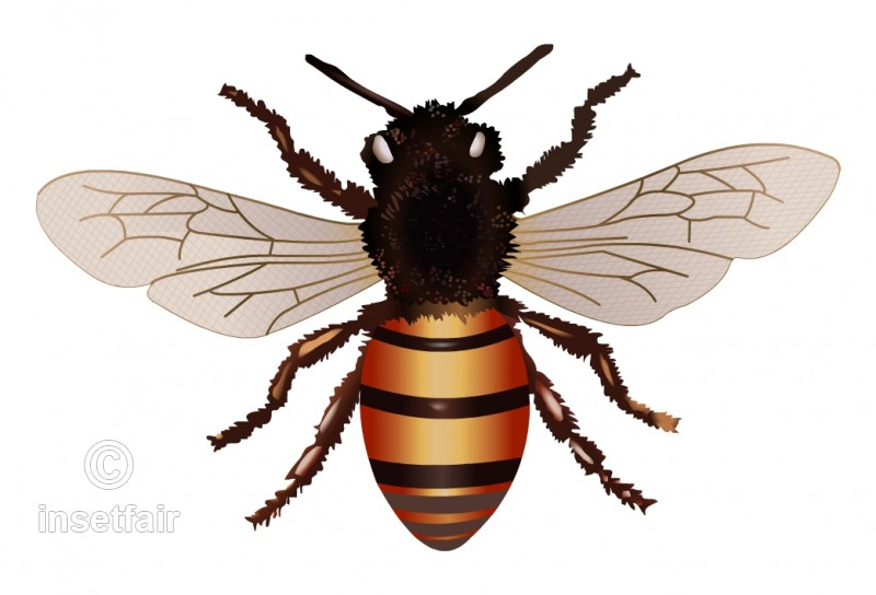800x544 Realistic Drawing Of Honey Bee With Adobe Flash