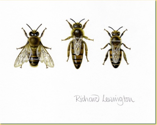 517x411 Worker Honey Bee Drawing