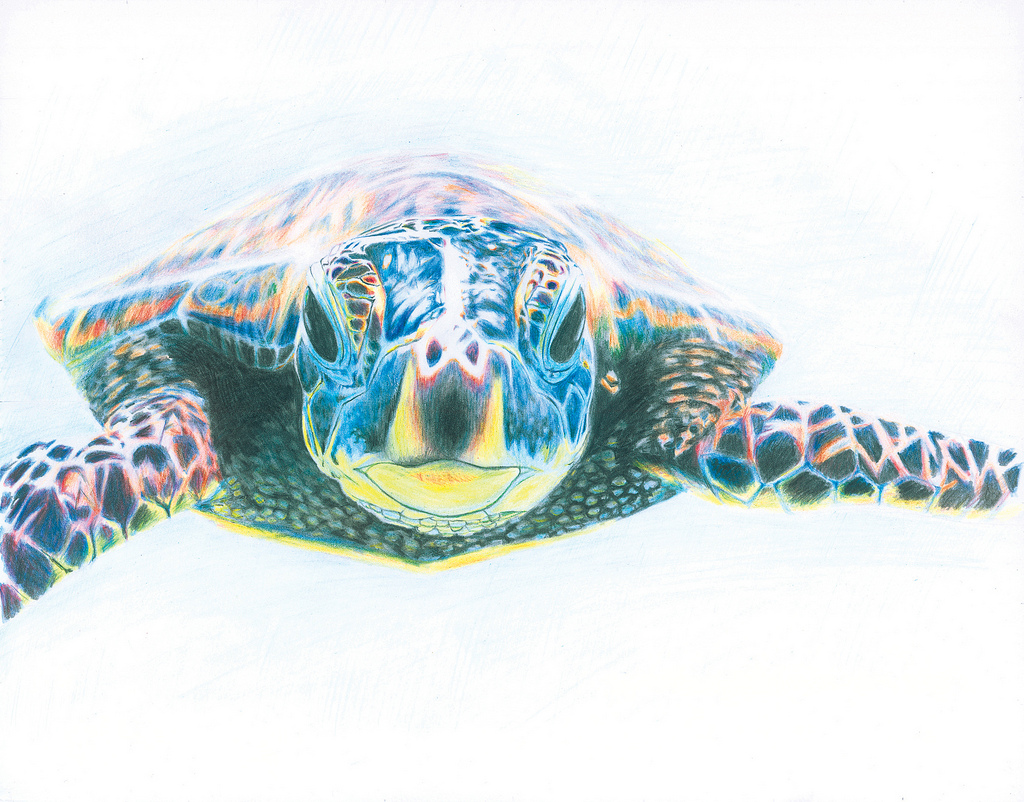 1024x802 Honu Colored Pencils Drawing Another Piece Reflecting