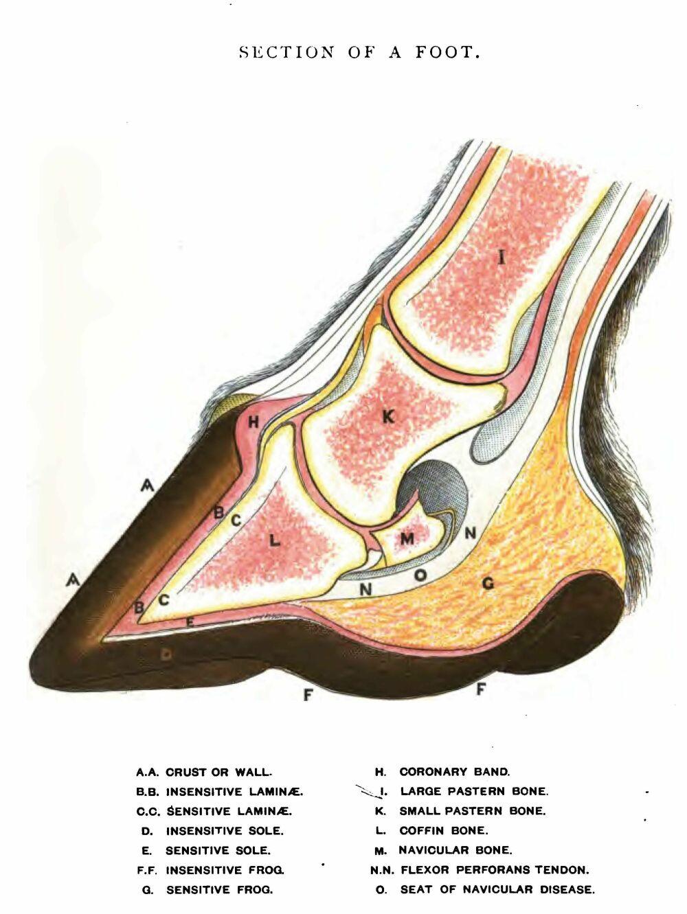 1000x1331 Hoofsmart Anatomy Normal Hoof Cross Section Drawing Labeled