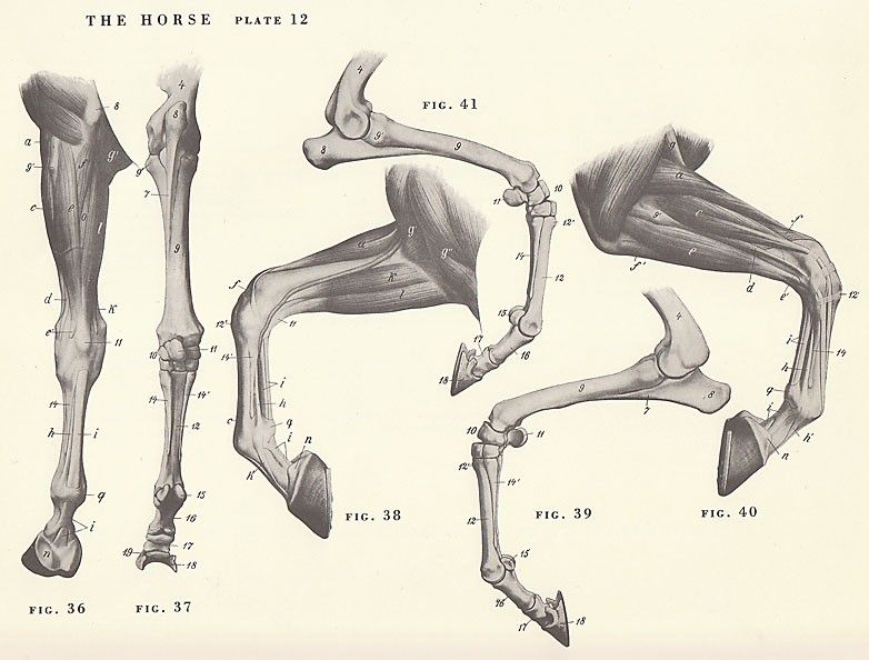 782x594 Vintage Horse Leg Hoof Joint Anatomy Illustration Animals