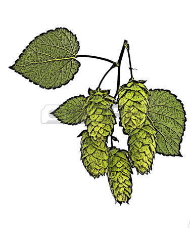 376x450 Hop Cones Isolated, Drawing Generated In Photoshop Stock Photo