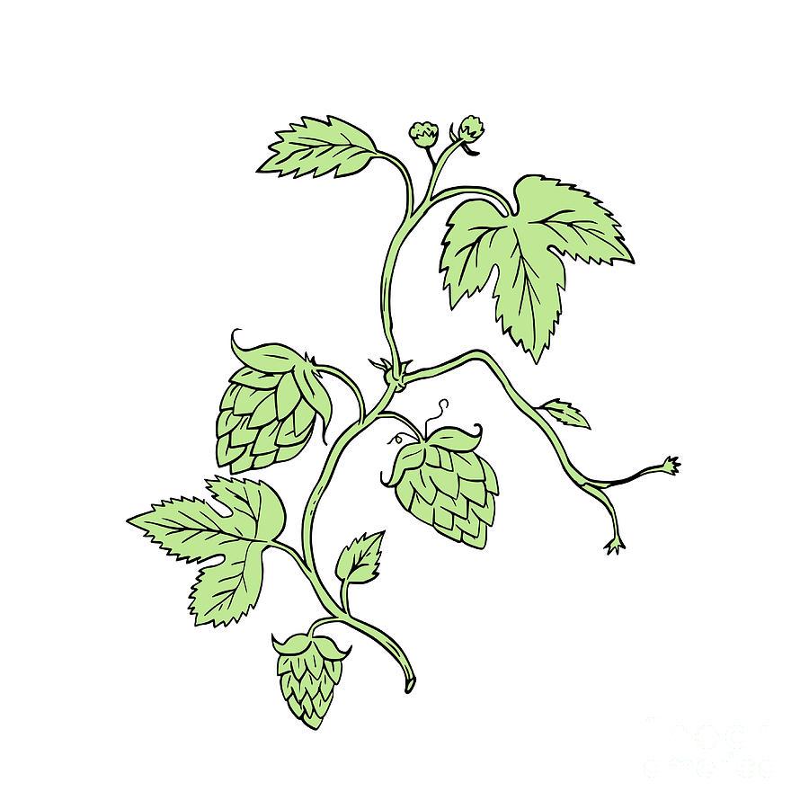 900x900 Hop Plant Climbing Drawing Digital Art By Aloysius Patrimonio