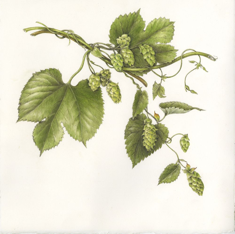 1000x997 Pin By Vova Krapivin On Biology Botanical Drawings