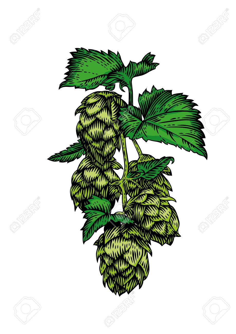 919x1300 Drawing Of Fresh Green Branch Of Hops On The White Royalty Free