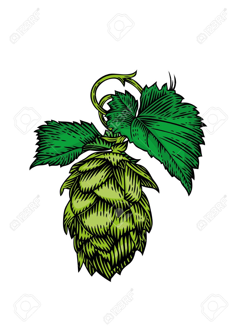 919x1300 Drawing Of Fresh Green Cone And Leaves Of Hops On The White