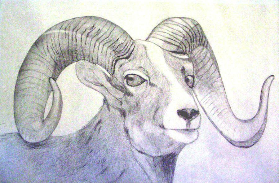 900x591 Colorado Big Horn Sheep Drawing By Gary Stull