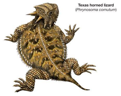 465x369 57 Best Desert Lizards Of The Us Images On Horned