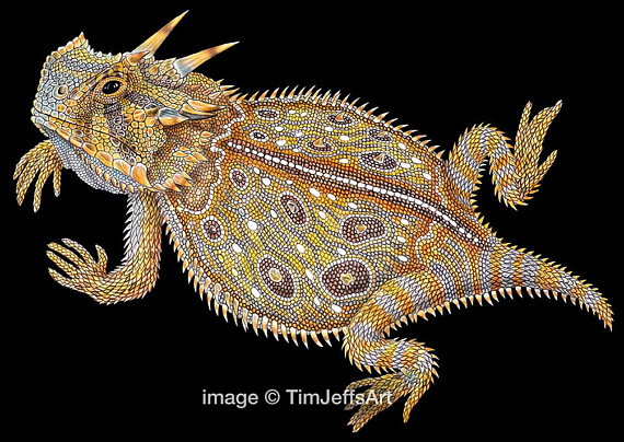 570x404 Horned Lizard Colored Pencil Drawing