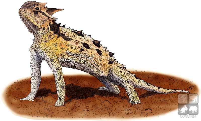 800x483 Texas Horned Lizard Stock Art Illustration