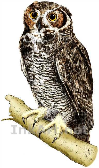 384x650 Great Horned Owl (Bubo Virginianus) Stock Art Illustration