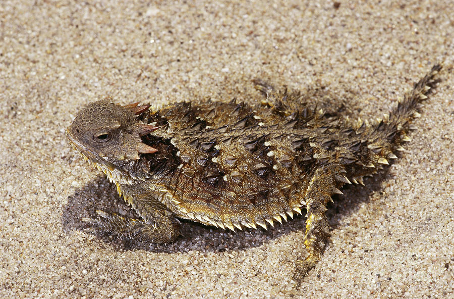900x592 Coast Horned Lizard Or Horny Toad Photograph By Dante Fenolio