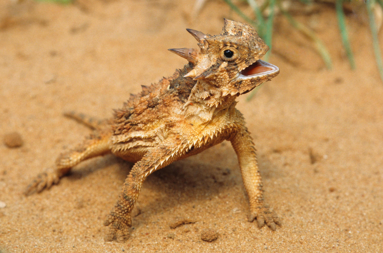 1314x870 How The Texas Horned Lizard Harvests Water On Its Skin Cosmos